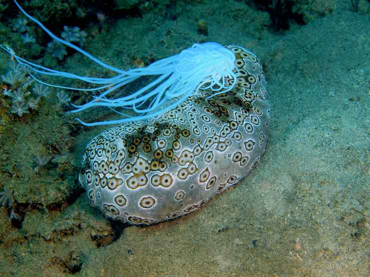 Cetriolo di mare