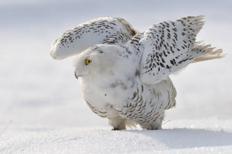 Gufo delle nevi