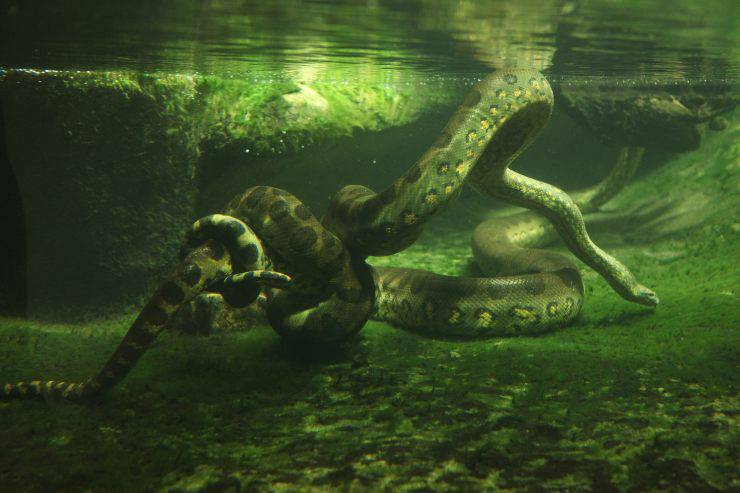 Curiosità sull'anaconda