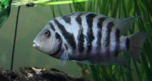 Amatitlania nigrofasciata youtube pesci dalle abilità più assurde