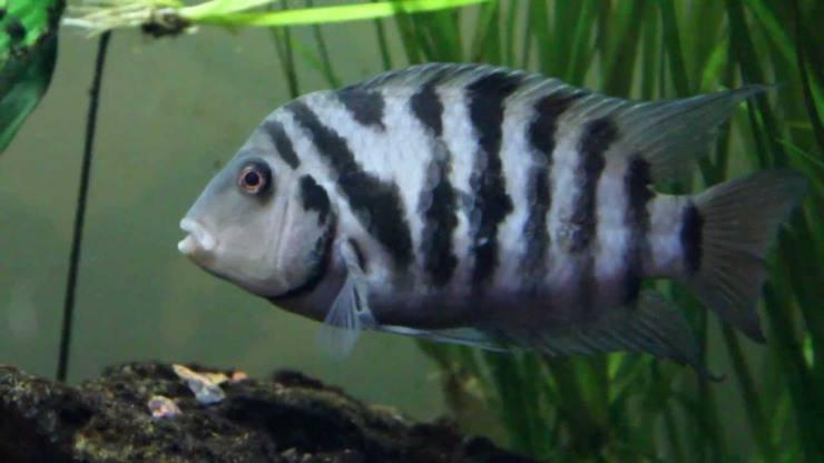 Amatitlania nigrofasciata pesci dalle abilità più assurde