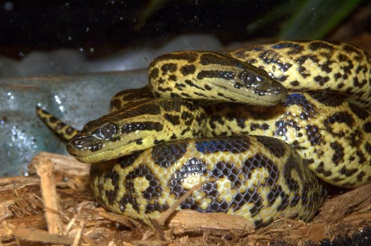 Anaconda giallo