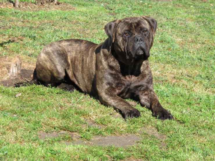 Bullmastiff Razze di cani più facili da gestire
