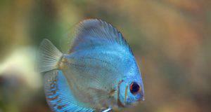 Pesce Cyprinodon.
