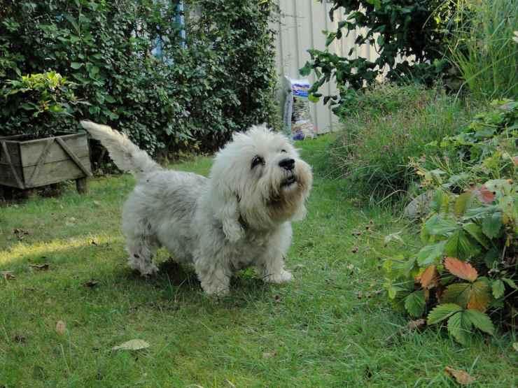 Razze di cani con zampe corte Dandie Dinmont Terrier