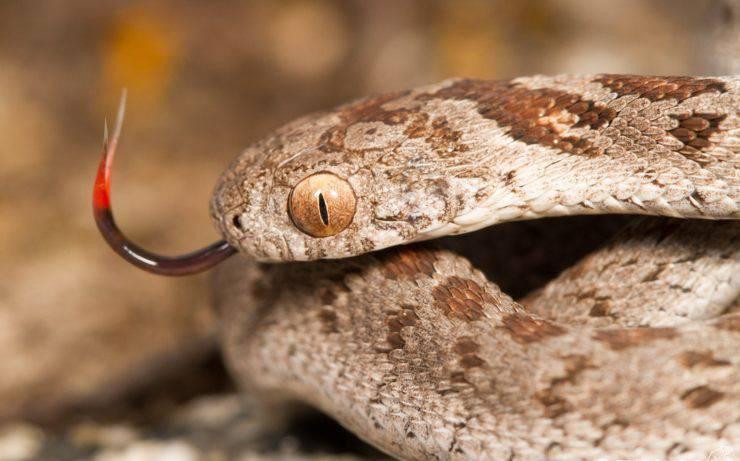 Dasypeltis serpe serpenti