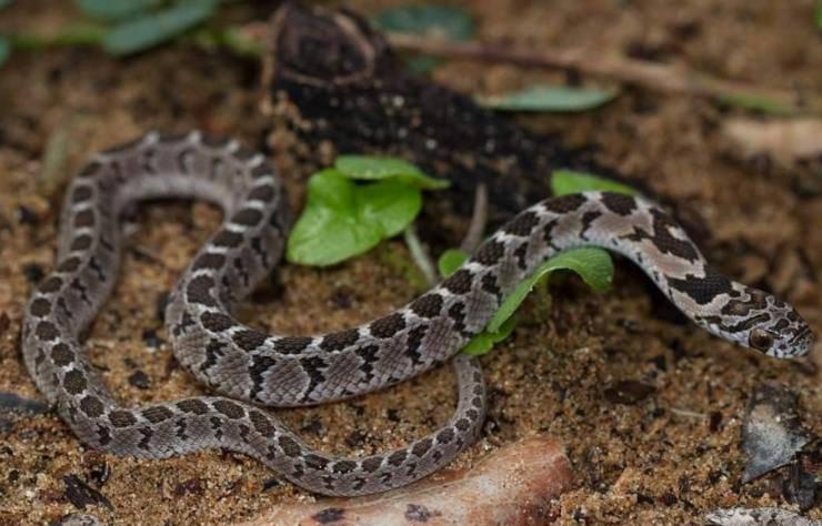 Dasypeltis serpenti domestici per principianti