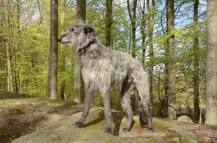 Deerhound adulto