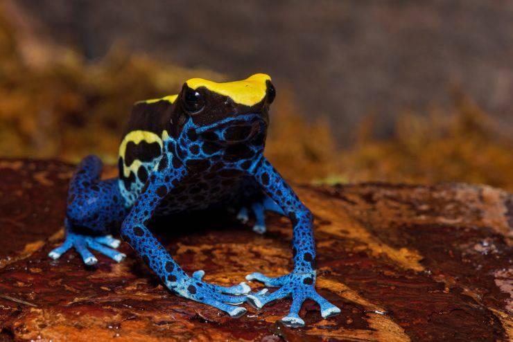 Okopipi Dendrobates tinctorius rana