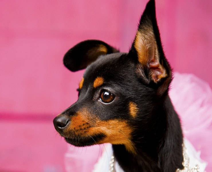 English toy terrier black and tan cucciolo