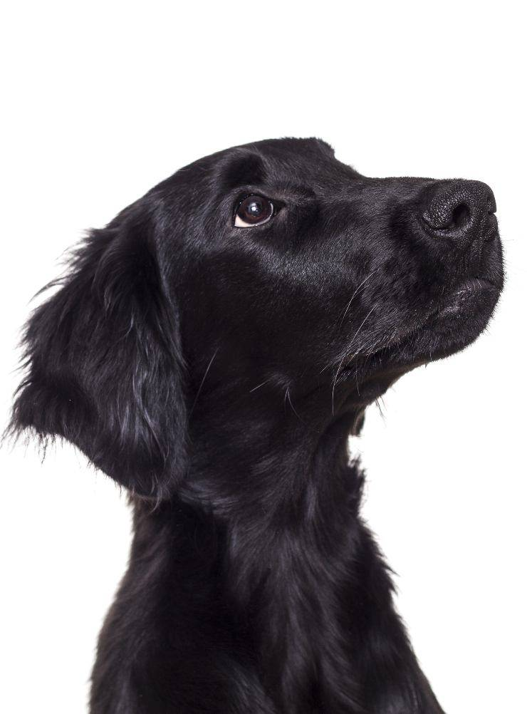 Flat coated retriever cucciolo