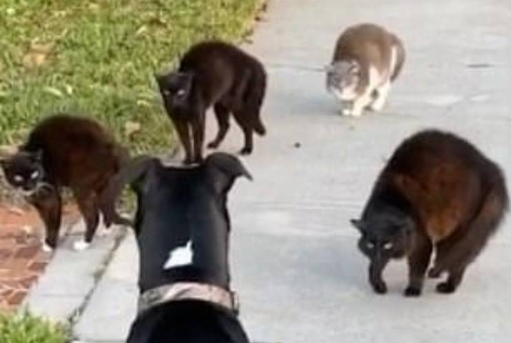 Banda gatti bullizza cane