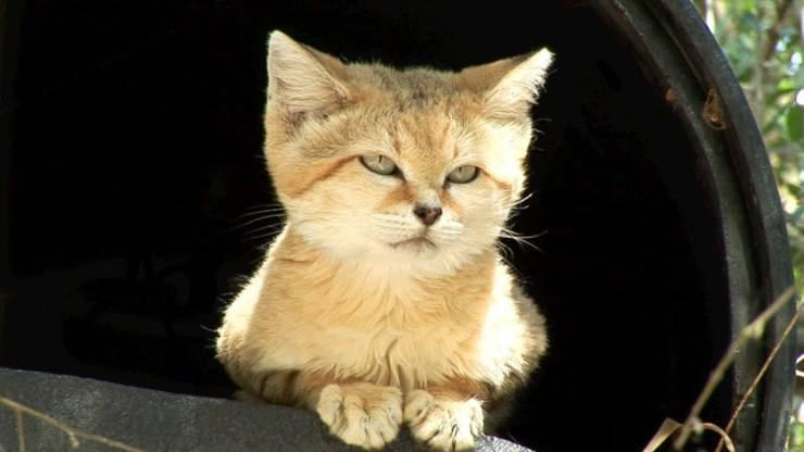 Il gatto delle sabbie, uno degli animali del deserto meglio adattati
