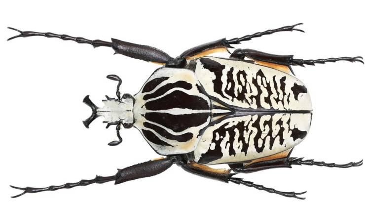 scarabeo Goliathus albosignatus