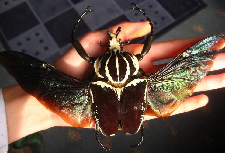 scarabeo Goliathus goliatus