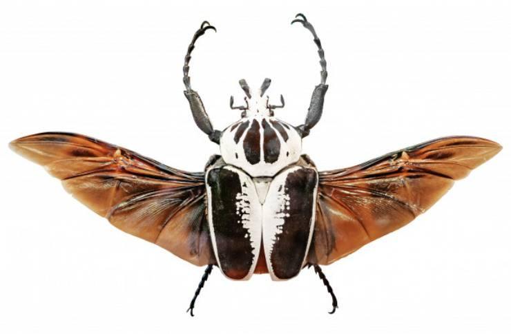 scarabeo Goliathus regius