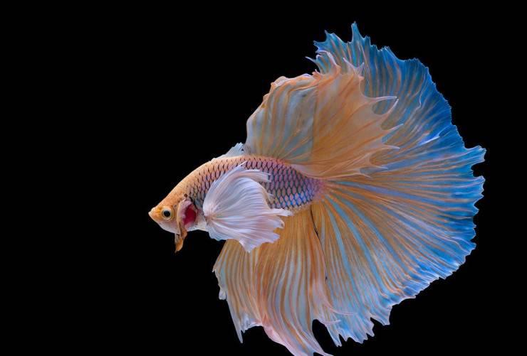 Halfmoon Betta pesce combattente flickr