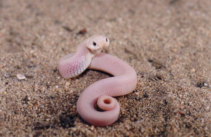 Heterodon nasicus serpenti