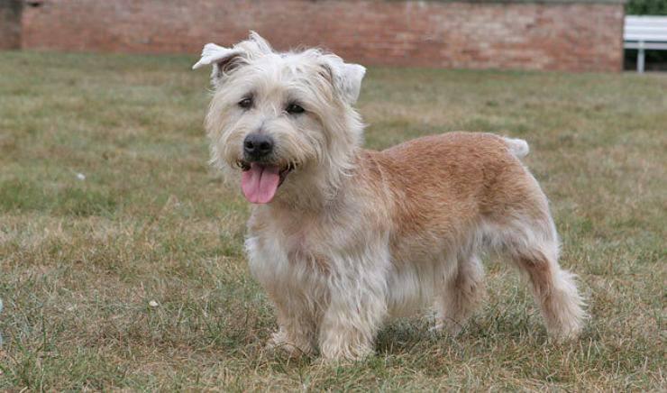 Irish Glen of Imaal terrier flickr