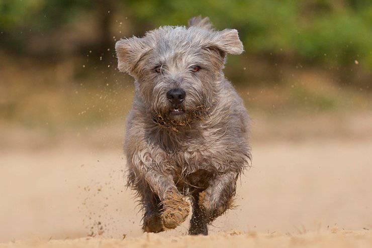 Irish Glen of Imaal terrier flickr1