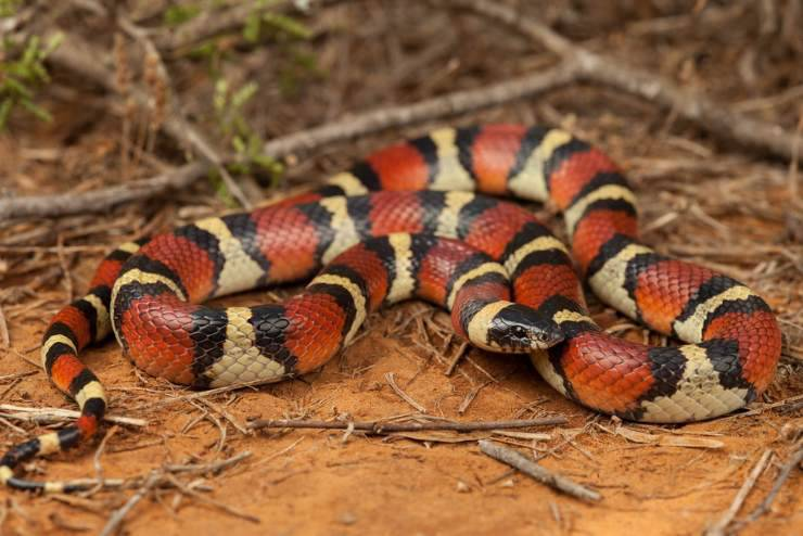 Lampropeltis triangulum annulata serpenti domestici per principianti