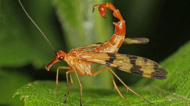 Mecotteri insetti più bizzarri
