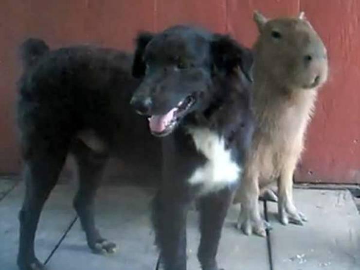 Cane e capibara