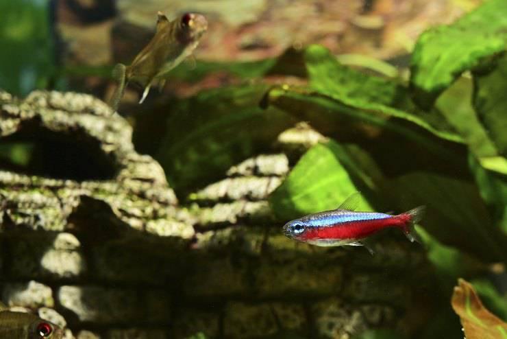 Paracheirodon axelrodi o pesce cardinale