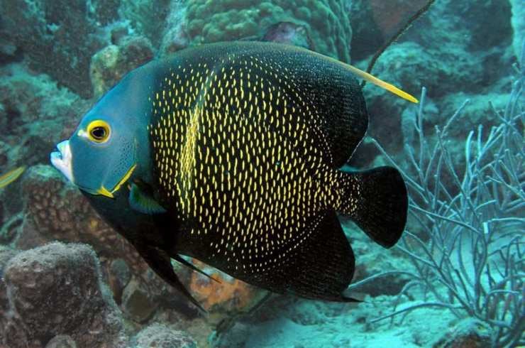 Pesce angelo francese