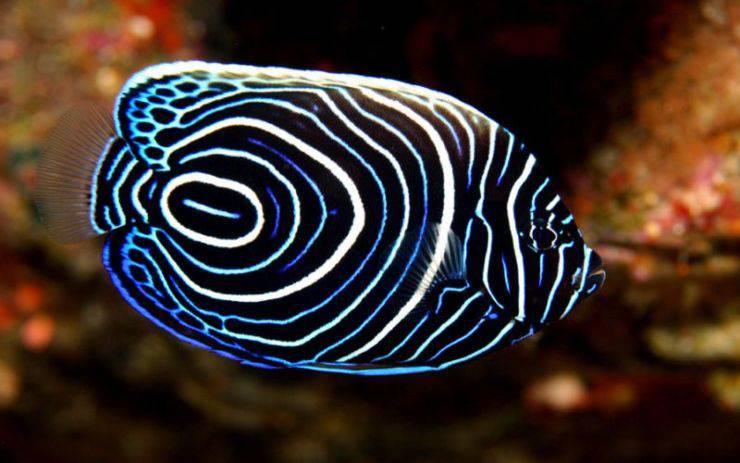 Pesce angelo imperatore pesci più belli