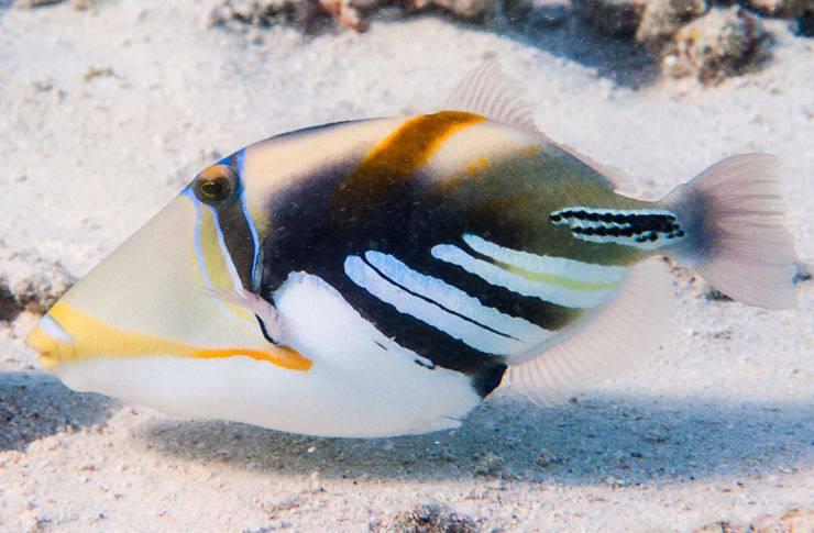 Pesce balestra Picasso