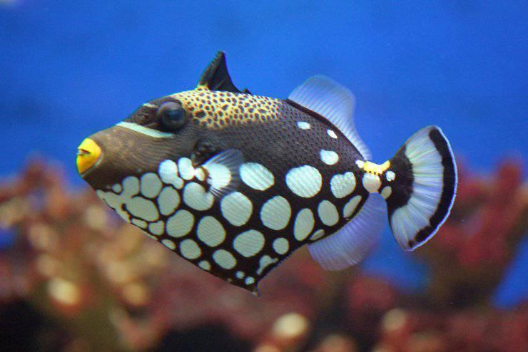 Pesce balestra pagliaccio pesci più belli