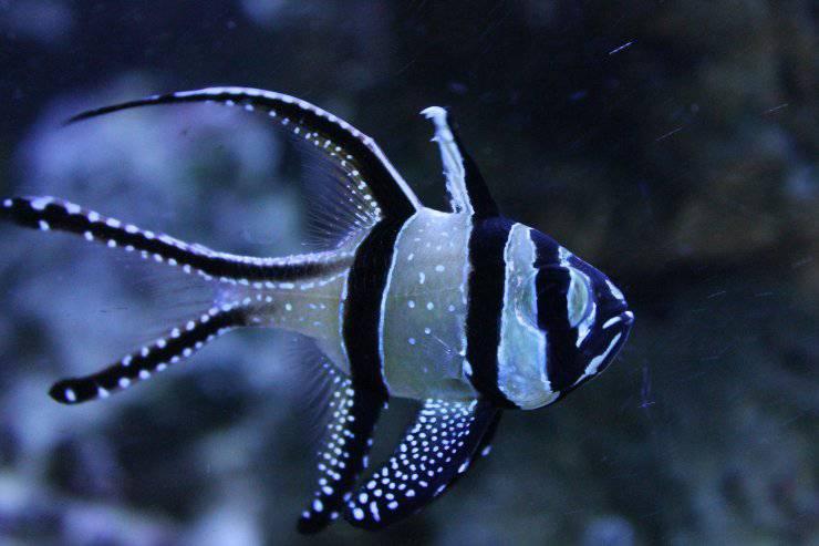 Pesce cardinale di Banggai