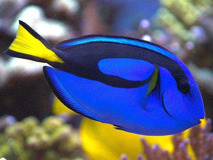 Pesce chirurgo blu dory nemo