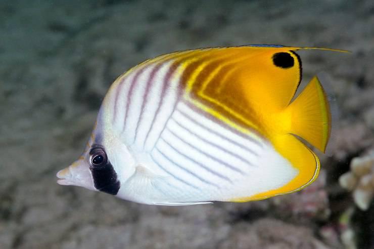 Pesce farfalla filamentoso
