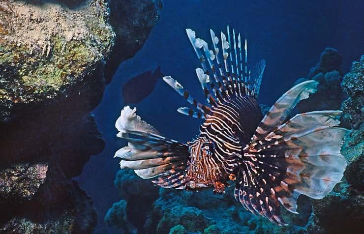 pesci più belli al mondo: il pesce leone