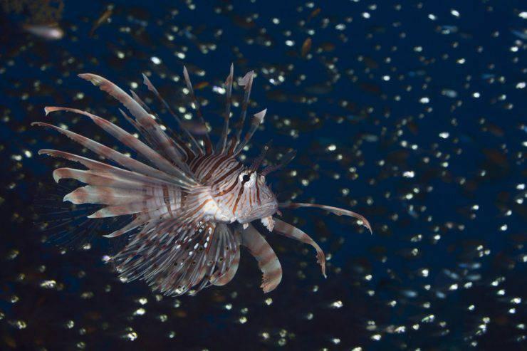 I pesci più belli al mondo: il pesce leone
