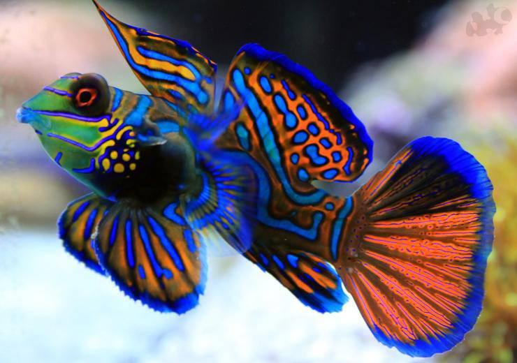 Pesce mandarino pesci più belli