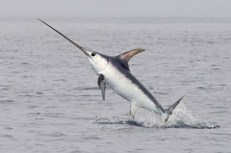 Pesce spada animali marini più veloci