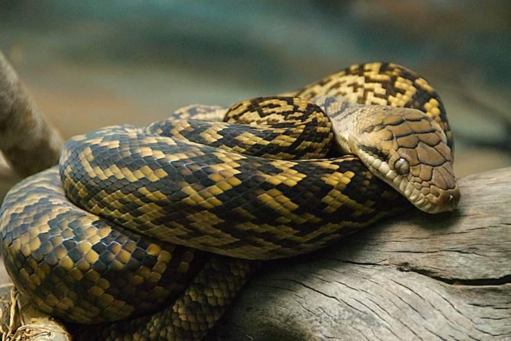 Pitone ametistino serpenti più grandi