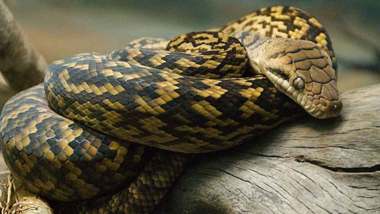 Pitone ametistino: uno dei serpenti più grandi al mondo