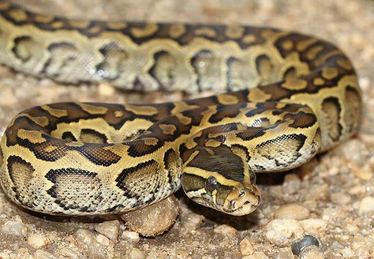 Pitone delle rocce africano serpenti più grandi