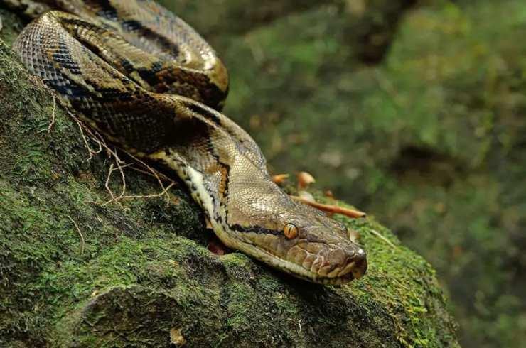Pitone reticolato serpenti più grandi