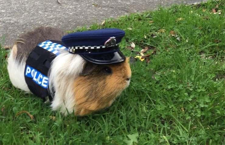 porcellino d'india poliziotto