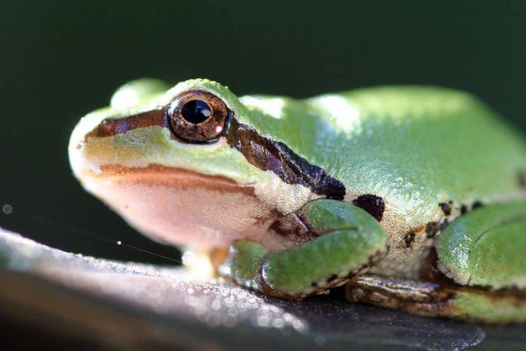 Rana arboricola del Pacifico flickr