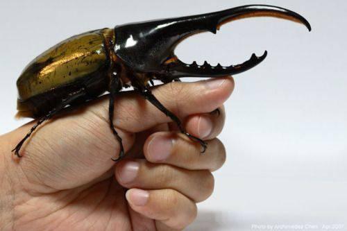 Scarabeo Ercole insetti più bizzarri