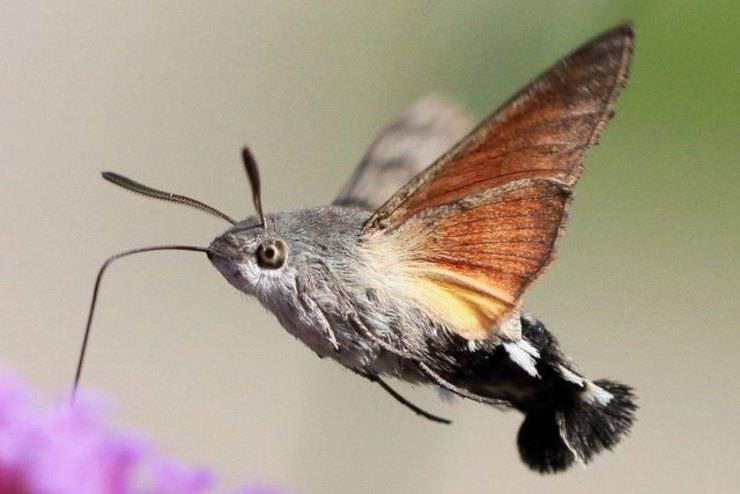 Sfinge colibrì insetti più bizzarri