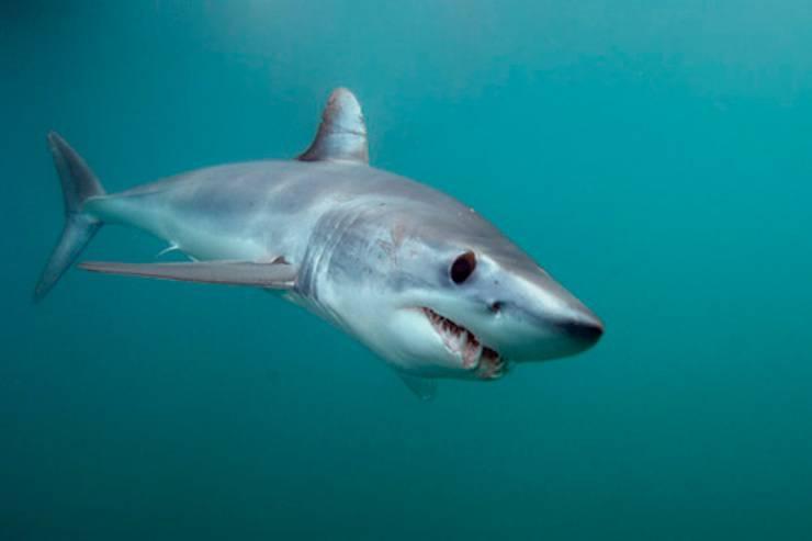 Squalo mako animali marini più veloci