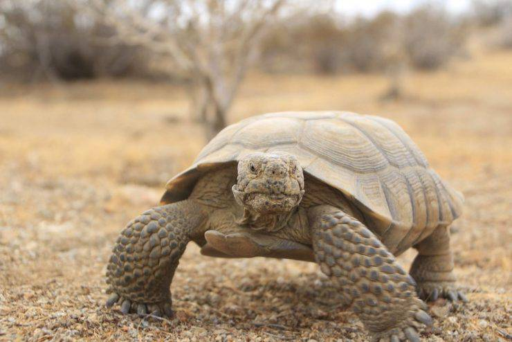 Tartaruga del deserto Cooper