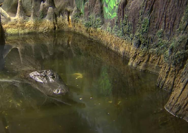 Alligatore Hitler Imbalsamato